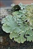 Flavopunctelia flaventior image