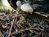 Inocybe cinnamomea image