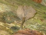 Arrhenia epichysium image
