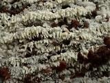 Trechispora farinacea image