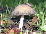 Coprinellus bipellis image