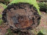 Veluticeps fimbriata image