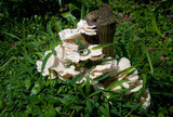 Favolus tenuiculus image