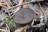 Pseudoplectania melaena image