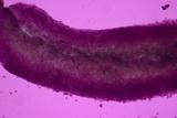 Sebacina epigaea image