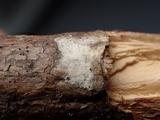 Acanthobasidium penicillatum image