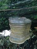 Ganoderma gibbosum image