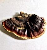 Ganoderma tropicum image