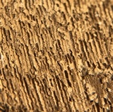 Ganoderma colossus image