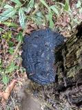 Ganoderma subresinosum image
