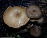 Lentinus tricholoma image