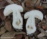 Tylopilus violatinctus image