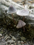 Mycena griseoviridis image
