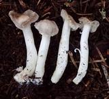 Tricholoma moseri image