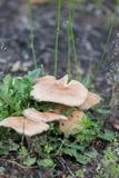 Gymnopus luxurians image