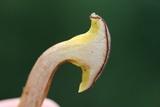 Phylloporus leucomycelinus image