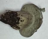 Hygrophorus caeruleus image