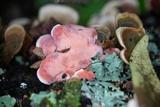 Phlebia incarnata image