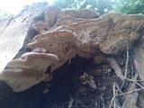 Fomitopsis durescens image