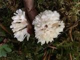 Tremellodendron schweinitzii image
