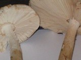 Amanita whetstoneae image