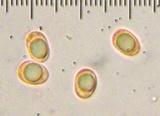 Leucocybe connata image