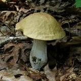 Boletus nobilis image
