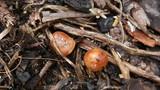 Pholiota highlandensis image