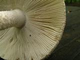 Amanita dolichopus image