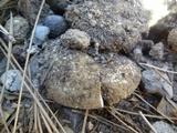 Amanita ameripanthera image