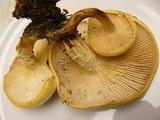 Neolentinus lepideus image