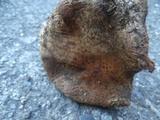 Cortinarius badiolatus image
