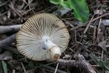 Russula farinipes image
