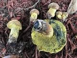 Boletus luridellus image