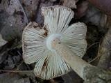 Amanita pseudovolvata image