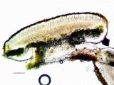 Caloplaca oregona image