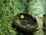 Phaeohelotium epiphyllum image