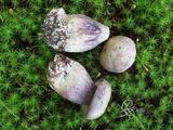 Tylopilus plumbeoviolaceus image