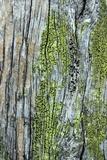 Cyphelium tigillare image