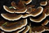 Rigidoporus microporus image