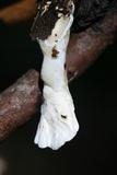 Loweomyces fractipes image