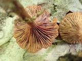 Lactarius areolatus image