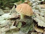 Xerocomus hortonii image