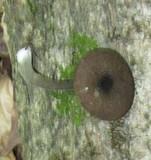 Entoloma griseocyaneum image