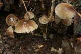Mycena vitilis image