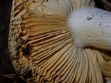 Russula lutea image