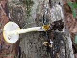 Amanita elongata image