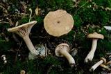Lactarius camphoratus image