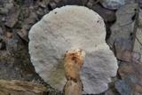 Microporellus dealbatus image