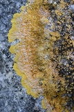Caloplaca eugyra image
